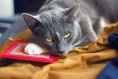 Een mooie kat met expressieve ogen ligt stil royalty-vrije stock foto's