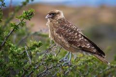 Een mooie kleine adelaar op een boomtak Shevelev stock foto's