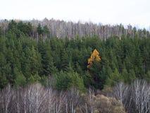 Een mooie kleine gele boom komt van de menigte van groene bomen op een zonnige dag duidelijk uit stock fotografie
