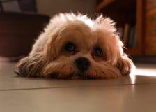 Een mooie kleine hond binnen huis Stock Afbeelding