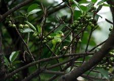 Een mooie kleine vogel die vruchten eten Stock Fotografie
