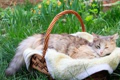 Een mooie kleurrijke kat die in een mand liggen stock afbeelding
