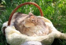 Een mooie kleurrijke kat die in een mand liggen stock foto