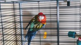 Een mooie kleurrijke papegaai in de kooi stock video