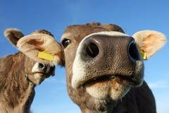 Een mooie koe royalty-vrije stock fotografie