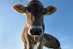 Een mooie koe stock foto's