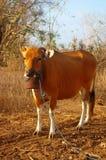 Een mooie koe in Bali Royalty-vrije Stock Foto