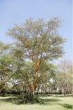 Een mooie koortsboom in Kenia stock foto's