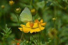 Een mooie kosmosbloemen en vlinder Royalty-vrije Stock Fotografie