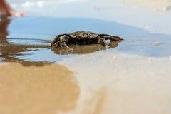 Een mooie krab kruipt op de kust van de Zwarte Zee stock afbeelding
