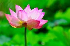 Een mooie lotusbloem Stock Afbeelding