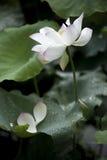 Een mooie lotusbloem in het platteland van China Royalty-vrije Stock Afbeelding