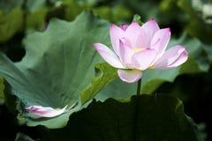 Een mooie lotusbloem in het platteland van China Stock Foto's