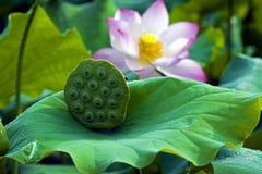 Een mooie lotusbloem in het platteland van China Royalty-vrije Stock Foto's