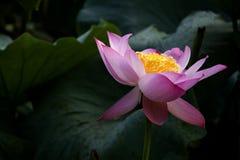 Een mooie lotusbloem in het platteland van China Royalty-vrije Stock Foto