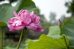 Een mooie lotusbloem in het platteland van China Stock Fotografie
