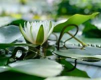 Een mooie lotusbloembloem die in een vijver drijven Royalty-vrije Stock Fotografie