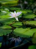 Een mooie lotusbloembloem die in een vijver drijven Stock Afbeeldingen