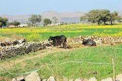Een mooie mening van gebieden en koeien royalty-vrije stock foto