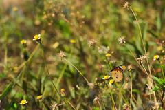 Een mooie oranje, witte en zwarte Thaise vlinder boven op een overweldigende groep uiterst kleine witte en gele bloemen, in een T Royalty-vrije Stock Afbeelding