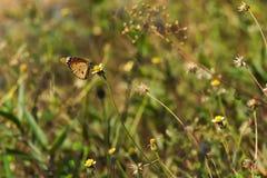 Een mooie oranje, witte en zwarte Thaise vlinder boven op een overweldigende groep uiterst kleine witte en gele bloemen, in een T Stock Foto's