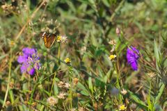 Een mooie oranje, witte en zwarte Thaise vlinder boven op een overweldigende groep uiterst kleine witte en gele bloemen, in een T Royalty-vrije Stock Afbeeldingen