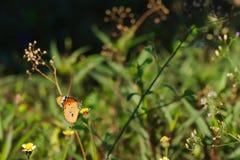 Een mooie oranje, witte en zwarte Thaise vlinder boven op een overweldigende groep uiterst kleine witte en gele bloemen, in een T Royalty-vrije Stock Foto's