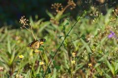Een mooie oranje, witte en zwarte Thaise vlinder boven op een overweldigende groep uiterst kleine witte en gele bloemen, in een T Stock Afbeelding