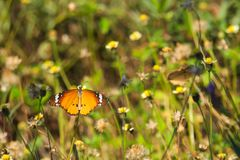 Een mooie oranje, witte en zwarte Thaise vlinder boven op een overweldigende groep uiterst kleine witte en gele bloemen, in een T Stock Fotografie