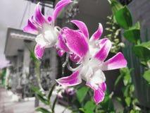 Een mooie orchidee stock afbeelding