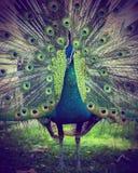 Een mooie pauw met kleurrijke veren Stock Foto