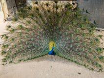 Een mooie pauw spreidt in de loop van de dag zijn staart-veren in tuintijd uit Royalty-vrije Stock Afbeeldingen