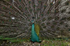 Peafowl Royalty-vrije Stock Afbeeldingen