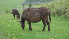 Een mooie poney die op groen weiland weiden stock video