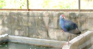 Een mooie Purpere Swamphen die zich naast reservoir bevinden stock fotografie