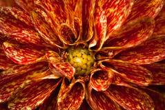 Een mooie rode en gele bloem stock fotografie