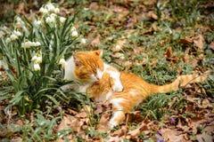 Een mooie rode kat ligt in het de lentebos dichtbij de sneeuwsleeën Stock Foto