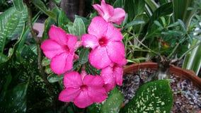 Een mooie roze bloem Royalty-vrije Stock Afbeelding