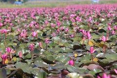 Een mooie roze lotusbloemvijver Royalty-vrije Stock Afbeeldingen