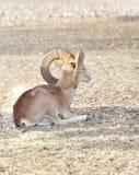 Een mooie Steenbok Nubian met gebogen hoorn Royalty-vrije Stock Afbeeldingen