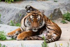 Een mooie tijger Stock Afbeeldingen