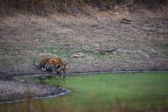 Een mooie tijgerin die haar dorst in de hete zomer doven bij waterpoel, kanha Nationaal Park stock afbeeldingen