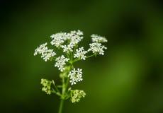 Een mooie trillende close-up van witte kervel bloeit op een natuurlijke achtergrond in de zomer Stock Afbeelding
