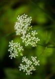 Een mooie trillende close-up van witte kervel bloeit op een natuurlijke achtergrond in de zomer Stock Fotografie
