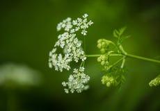 Een mooie trillende close-up van witte kervel bloeit op een natuurlijke achtergrond in de zomer Stock Afbeeldingen