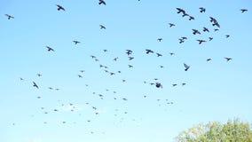 Een mooie troep van duiven die in de hemel omcirkelen stock video