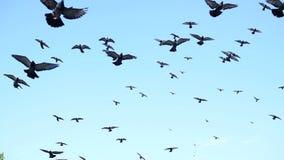 Een mooie troep van duiven die in de hemel omcirkelen stock videobeelden