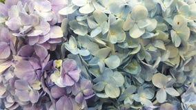 Een mooie twee toonhydrangea hortensia's Royalty-vrije Stock Foto