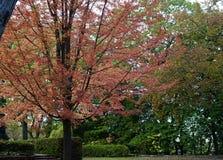 Een mooie veranderende kleur van de Esdoornboom stock afbeelding