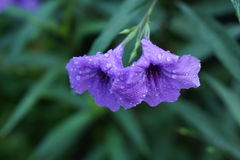 Een mooie violette ruellia tuberose Stock Foto